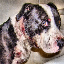 Dog fighting victim