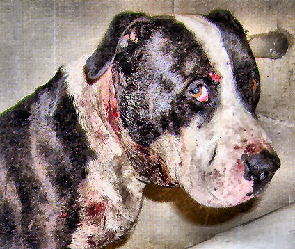 fighting animal cruelty Dog fighting is one of the most heinous forms of animal cruelty learn about the underground world of dog fighting and find out how you can help stop it.